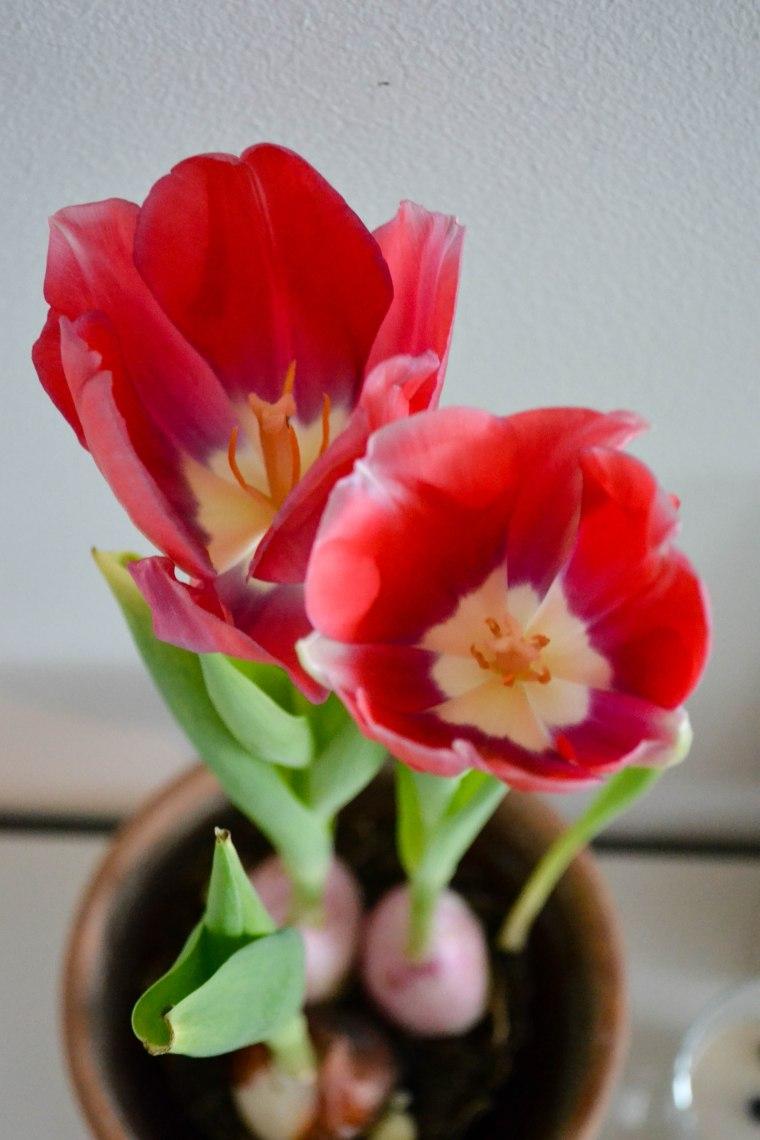 tulips (10 of 10)