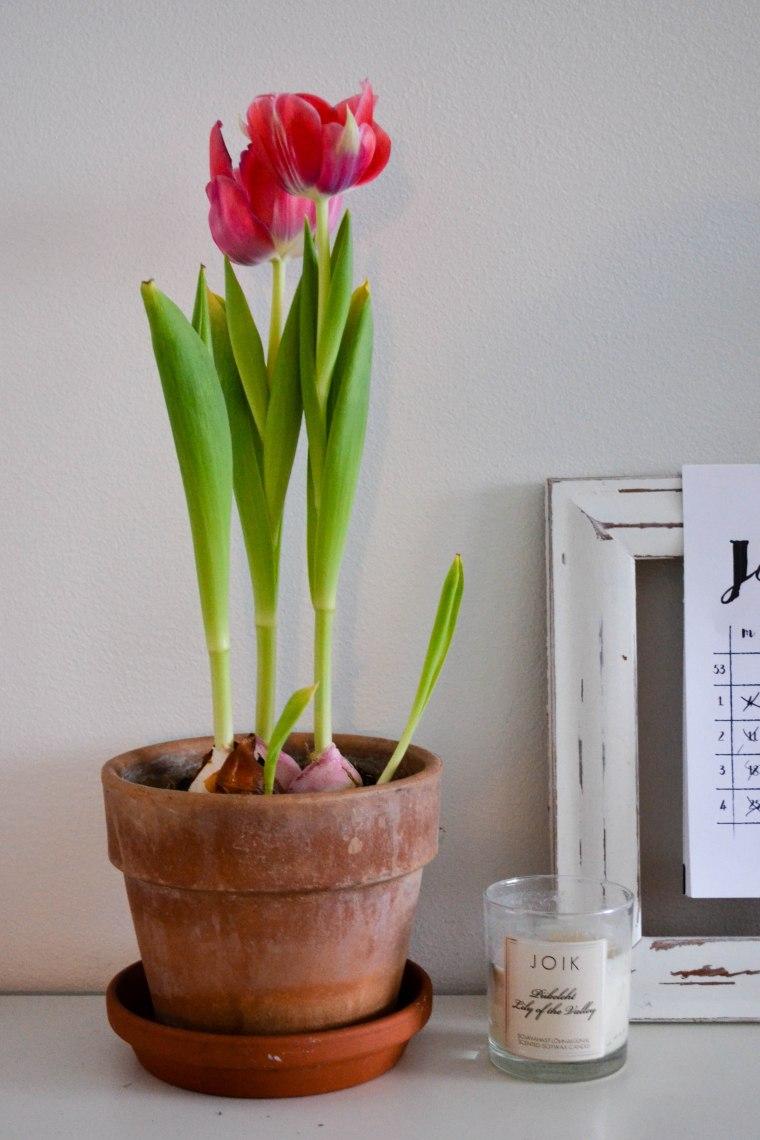 tulips (2 of 10)