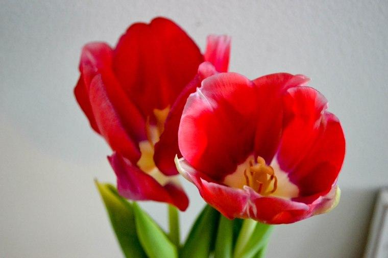 tulips (7 of 10)
