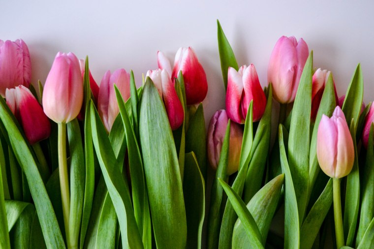 tulips (1 of 1)